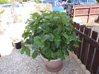 hydrangera established plant