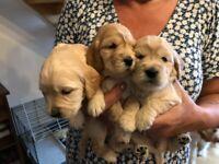 Beautiful apricot cockapoo puppies