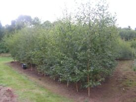 Silver Birch tree, attractive, fast-growing, bare root, 10-12 foot high