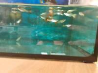 Young guppies tropical fish