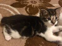 Male kitten for sale £40
