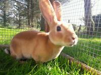 Gorgeous minirex rabbit