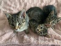 4 tabby kittens