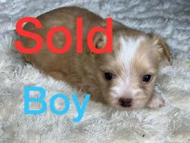 Nordic terrier puppies for sale