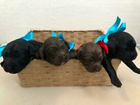 Cockerpoo F1 Puppies Fully Health Tested