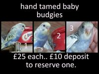 Hand tamed baby budgies