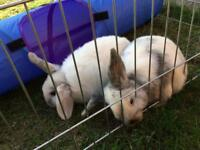 2 Lop Eared rabbits - Free to a good home