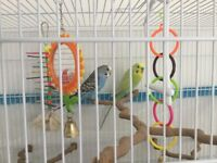 Pair of budgies with cage and accessories