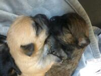Four beautiful chihuahua puppies for sale.