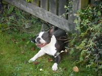 kc registered boston terriers for sale blue father