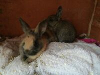 Baby rabbits for sale £15 each 8.5 weeks old
