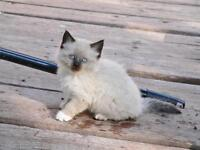 Elegant and Playful Seal Point Balinese Kittens