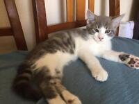 Grey tom kitten