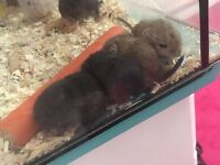 Very friendly baby gerbil
