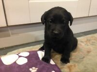 KC Registered Black Labrador Pups