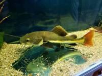 Redtailed catfish