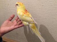 Beautiful Yellow Red Rump Baby Cocktiel Semi Tamed Parrot