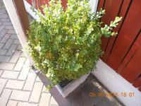 Box Plants 4 Extra Large In 4 Vintage Weathered Stone Planter Pots.