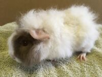 Fluffy baby guinea-pigs