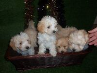 MALTIPOO PUPPIES, 4 girls and boys