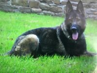 German Shepard male dog,KC registered,sable colour,fully house trained ,obedience trained,family
