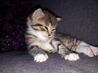 3 tabby kittens .1 boy 1 girls.allready wormed and fleasing.