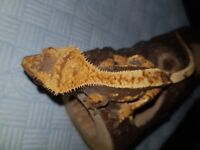 gorgeous harlequin high percentage crested gecko with awesome structure structure and lineage.