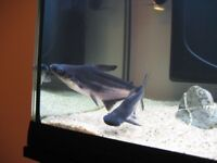 3 large Pangasius catfish for sale