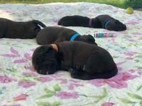 Patterdale puppies (4 boys)