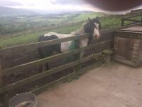 Coloured Filly Cob, Ride and Drive