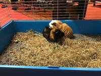 2 Guinea Pigs need good home