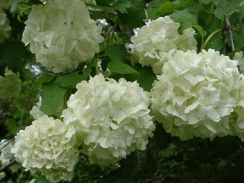 """Old Fashion Snowball Viburnum 4""""pot Viburnum opulus roseum"""