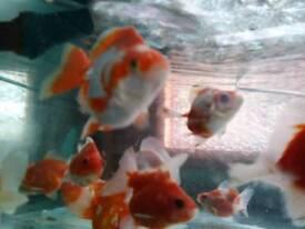 Goldfish ryukin fish tank aquarium