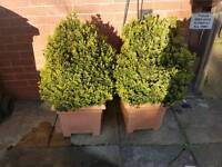 Pair of plants. Box hedging