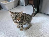Bengal cross kitten female
