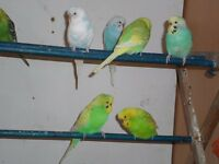 budgies and cocktieals for sale