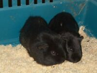 2 black male guinea pigs sold as a pair