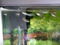 10 guppies for £10