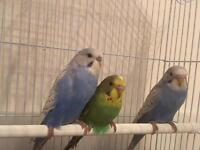 Baby budgies perfect age for taming