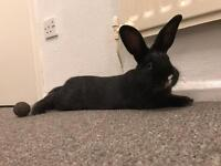 Black and white male rabbit