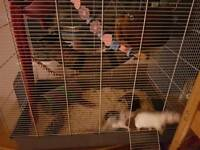 2 x female rats inc cage and set up