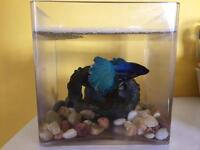 Beta/siamese/tropical fish to let go