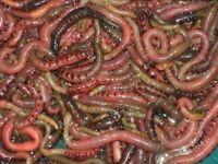 Fresh Lugworm for sale sea fishing etc