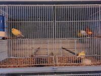 Mixed canarys