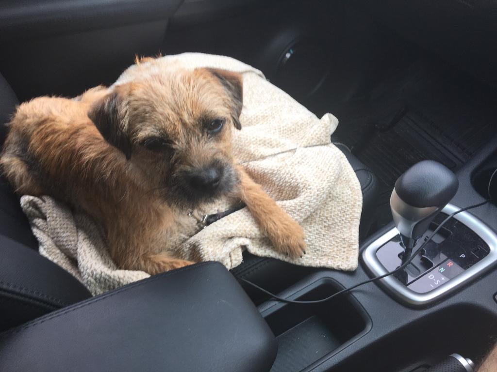 Bord Terrier   in Kirkcaldy, Fife   Gumtree   Border Terrier Pups For Sale Fife