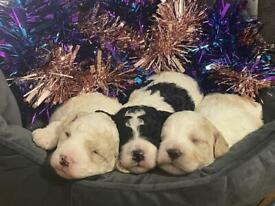 3 stunning boys 💙💙💙 Cockapoo brothers forever