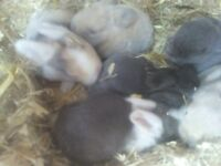 mini lops ready end of October