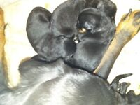 Gorgeous chunky rottweiler pups ready to leave 11th October