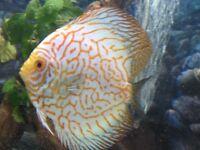 Discus fish 3x for quick sale
