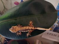 Baby crested geckos, price is negotiable
